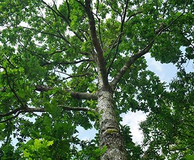 Sessile Oak - Luthenay Forest (58)