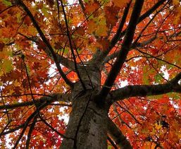 Red Oak - Luthenay Forest (58)