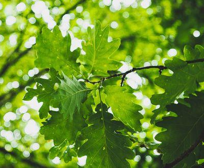Sessile Oak - Malicorne sur Sarthe Forest (72)