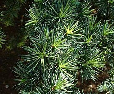 Cedre - Morvan-skoven (56)