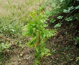 Red Cedar - Cleden Poher Forest (29)