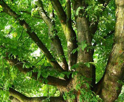 Chestnut - Forêt de Malicorne sur Sarthe (72)