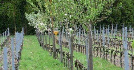 Agroforesterie et viticulture : un mariage vertueux