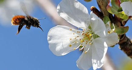 Des fleurs et des arbres pour sauver les abeilles