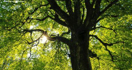 Pourquoi et comment parrainer un arbre ?
