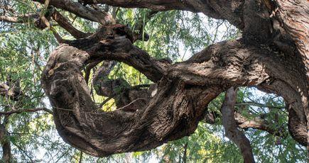 Votez pour élire l'arbre de l'année !
