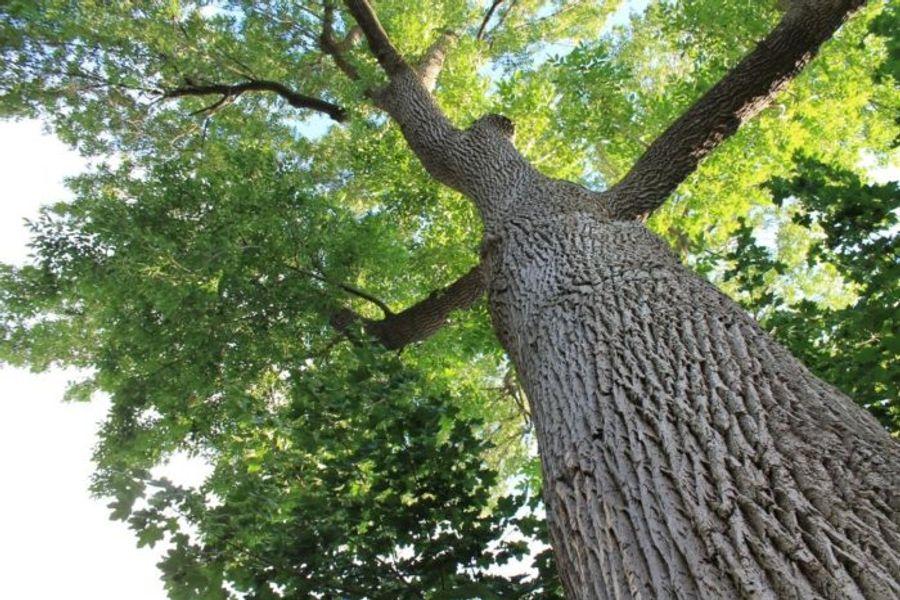 Focus sur le frêne