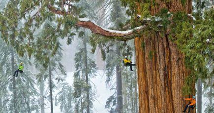 Mesurer les plus hauts arbres du monde