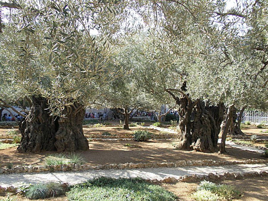 Gethsémani : des oliviers qui ont connu le Christ