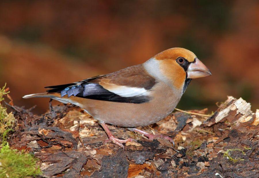 Gros-bec casse-noyaux, un oiseau de nos forêts !