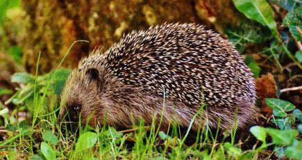 Hérisson d'Europe : un maillon essentiel à la biodiversité