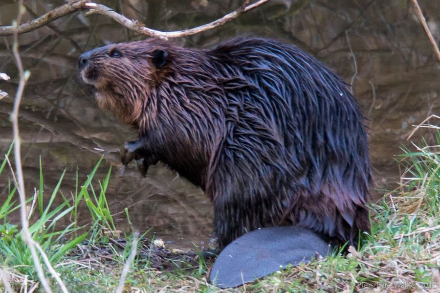 Quand le castor protège les forêts et les zones humides