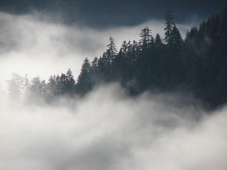 Sapin pectiné, l'arbre européen le plus haut