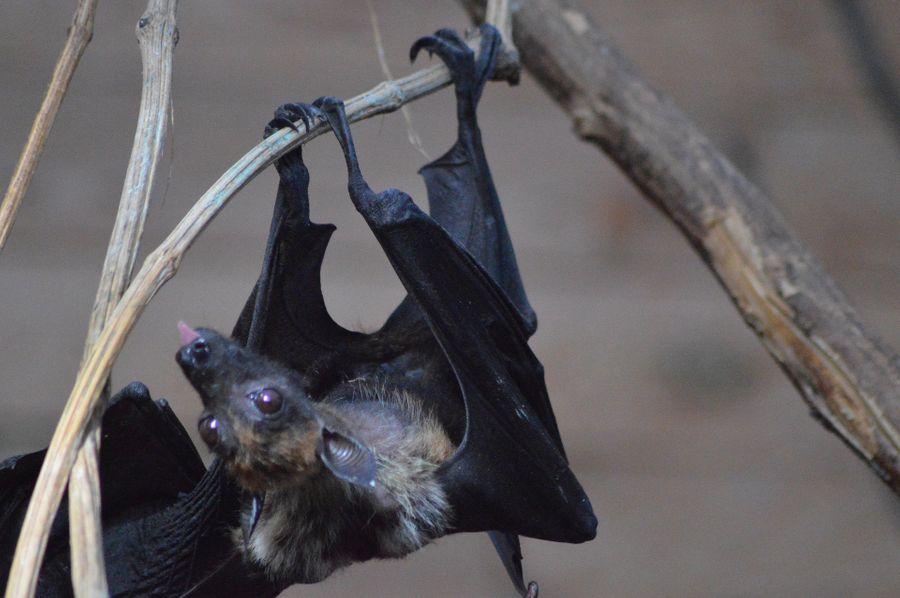 Chauve-souris : souche à virus ou mammifère d'exception ?