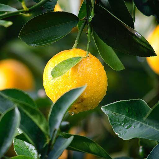 Activité : Faire germer des citrons