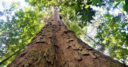 Ents : Tolkien avait vu juste, les arbres géants ont un rôle primordial