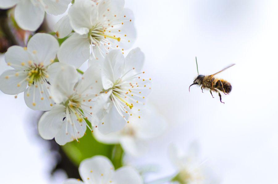 Abeilles domestiques : sont-elles un danger pour la biodiversité ?