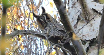 Hibou moyen-duc, oiseau commun de nos forêts