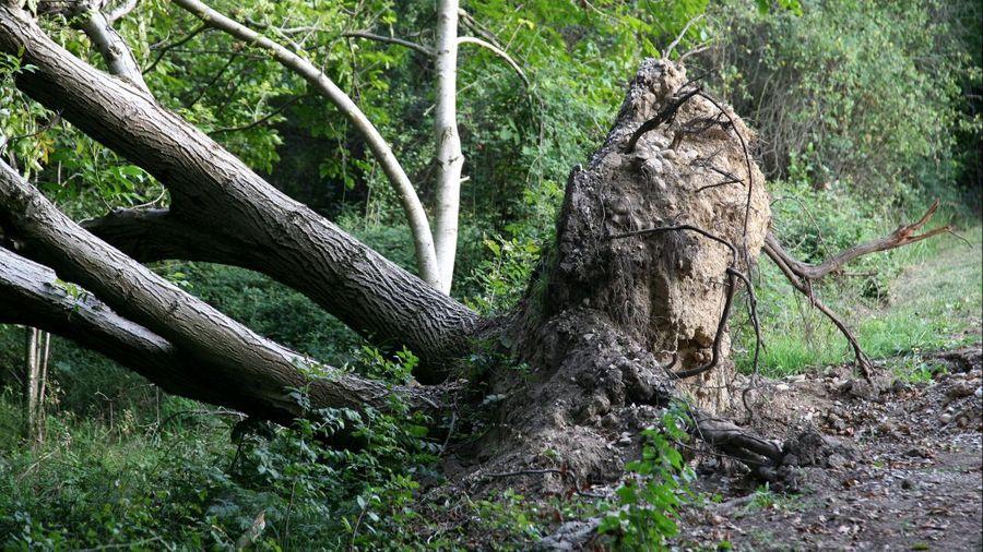 Face aux tempêtes, tous les arbres ne sont pas égaux