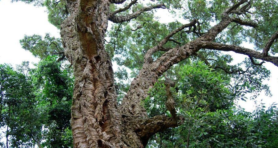 Pourquoi faut-il préserver les chênes-lièges dans les forêts méditerranéennes ?