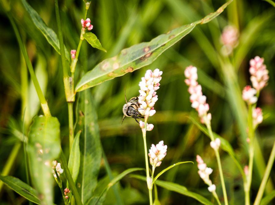 Are honey bees a threat to biodiversity?