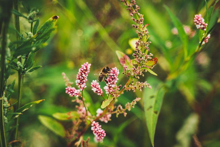 Er honningbier en trussel mod biodiversiteten?
